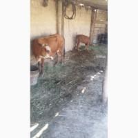 Продам дойную, стельную корову