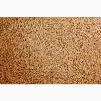 Пшеница 3 класса Болашак