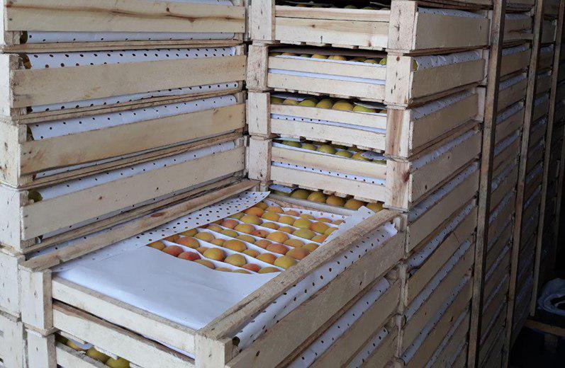 Фото 6. Продам клубнику, абрикосы и черешню из Узбекистана Урожай 2018