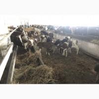 Продам телят бычков коров быки телки