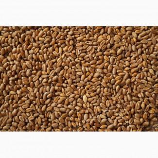 Пшеница 3 класс DAP Мары