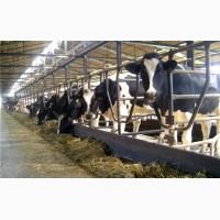 Продажа племенных нетелей молочных пород КРС, КРС живым весом оптом. КамАгро поставщик