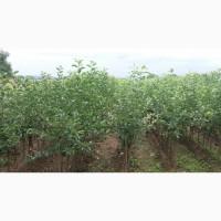 Саженцы яблони Сербия