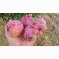 Слива(Новый урожай) на экспорт из Узбекистана