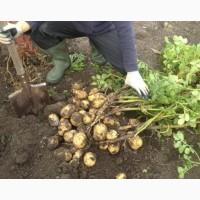 Продаю картофель сорта Джелли кг 2.80 манат Туркменистан Ашхабад