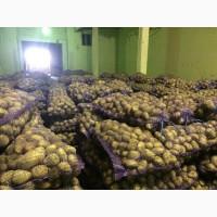 Картошка урожай 2019 года